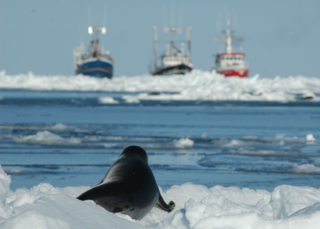 CANADA_S__COMMERCIAL_SEAL_HUNT_210061