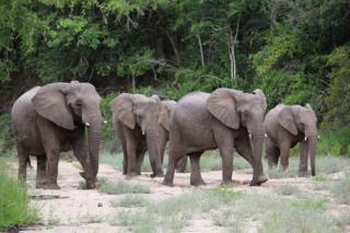 AFRICAN_ELEPHANT_HERD_-_VANESSA_MIGNON_260341