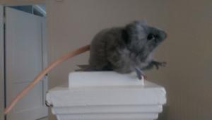 Charlaine rat7
