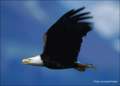 Bald-eagle-picture