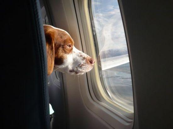 Perro vianado en avion (2)