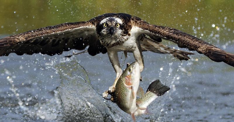 Osprey-catching-trout-scott-linstead