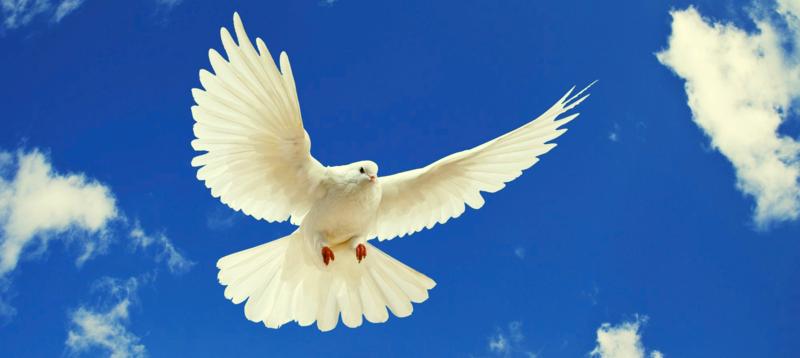 White_dove-wide