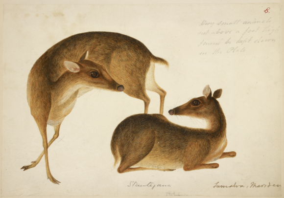 Sumatran mousedeer. Drawing by a Chinese artist in Bengkulu, between 1784 and 1808, reproduced in William Marsden, A history of Sumatra, 3rd edition (London, 1811). British Library, NHD 1/8.