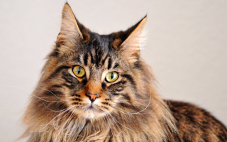 Maine_coon_cat_picture_for_wallpaper